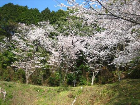 清水の桜 096