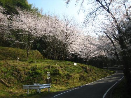 清水の桜 093