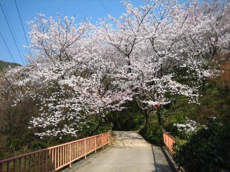 清水の桜 068