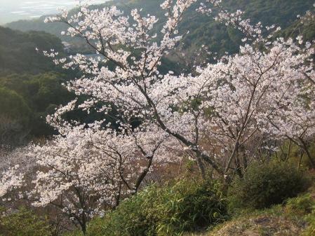 清水の桜 155