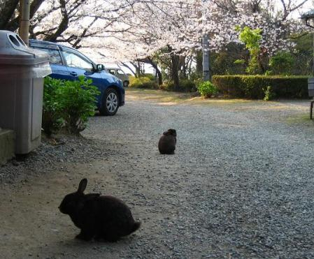 清水の桜 143