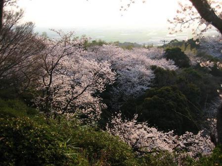 清水の桜 165