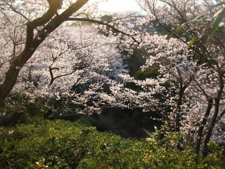 清水の桜 160