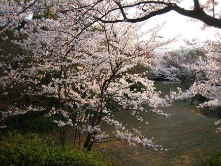 清水の桜 159
