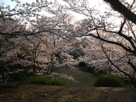 清水の桜 158