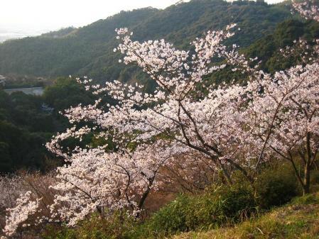 清水の桜 166