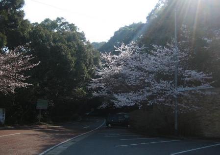 清水の桜 021