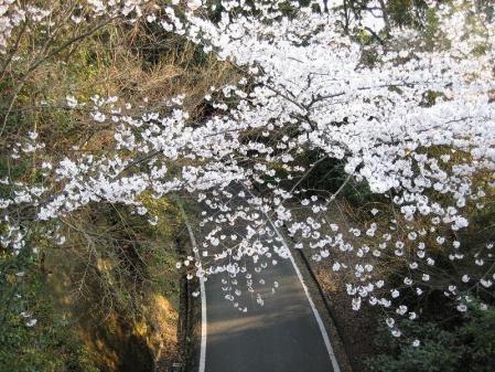 清水の桜 142