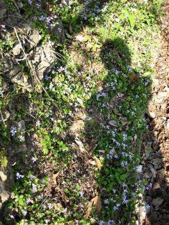 清水の桜 091