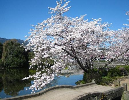 小城公園の桜 024