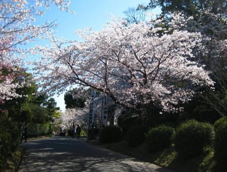 小城公園の桜 019