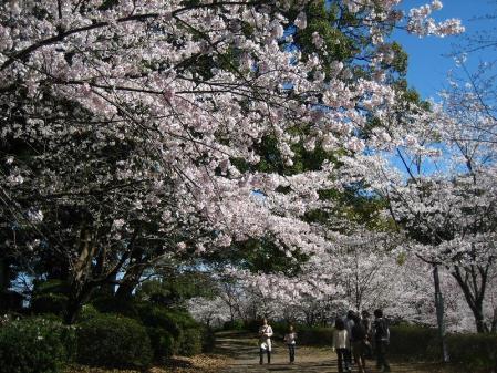 小城公園の桜 012