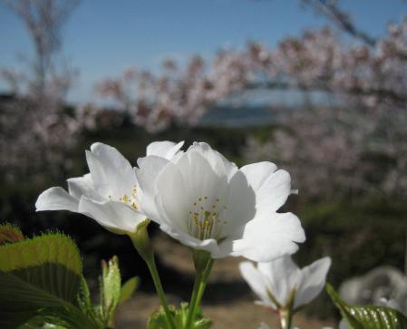 花散る清水 014