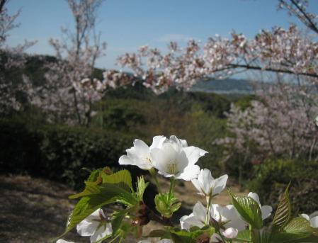花散る清水 015