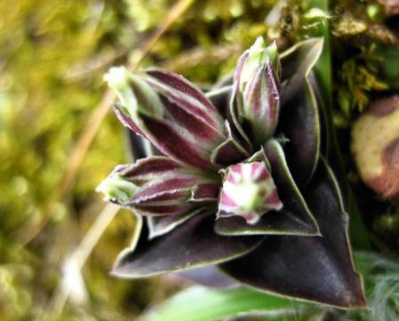 カラ迫岳の花 095 - コピー