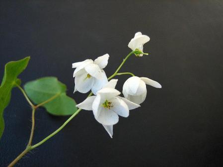 天山の花 047 - コピー