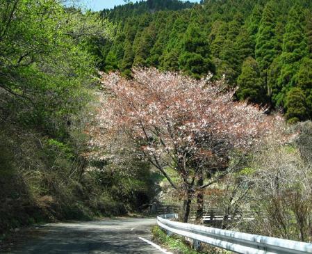 天山の花 119 - コピー