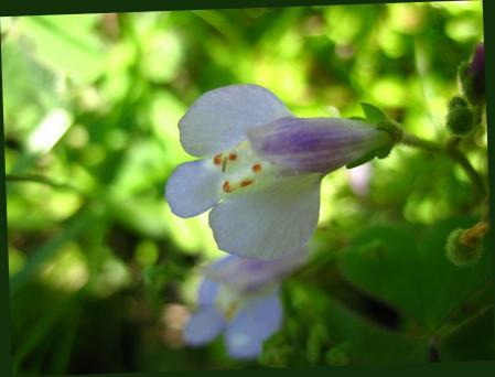 アマドコロの花 024