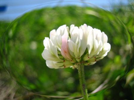 アマドコロの花 076