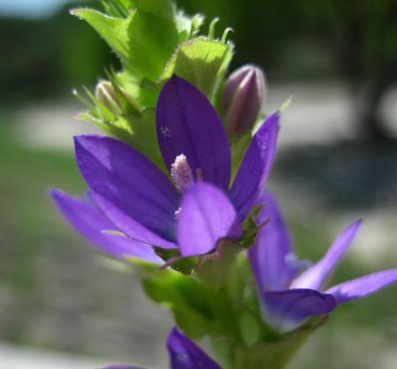 アマドコロの花 070