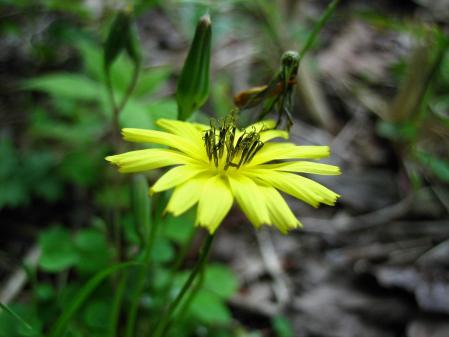 雪笹の花 059