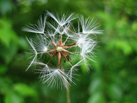 雪笹の花 062