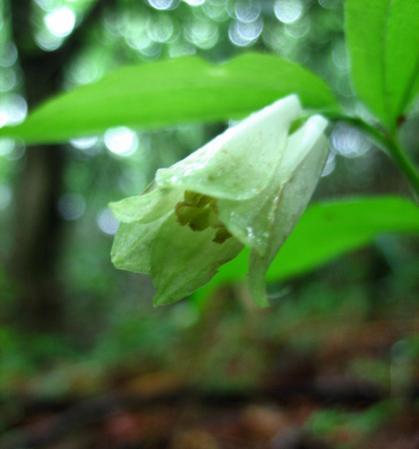雪笹の花 009