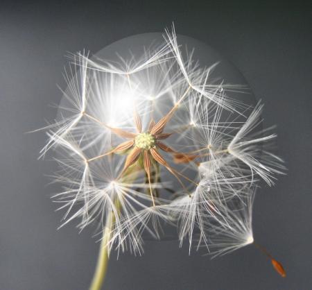 雪笹の花 071