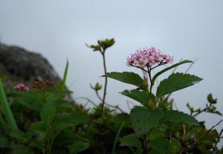 九千部岳の花 118