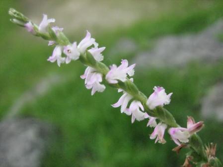 清水山の花 086