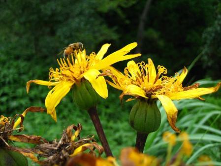 天山の花 082