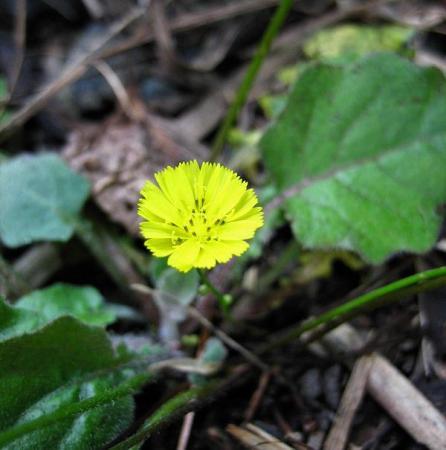 天山の花 047