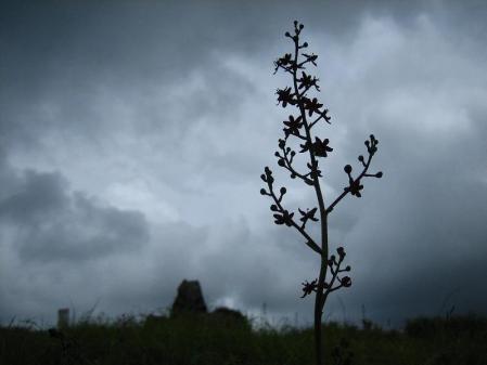 天山の花 169
