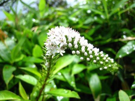 天山の花 145