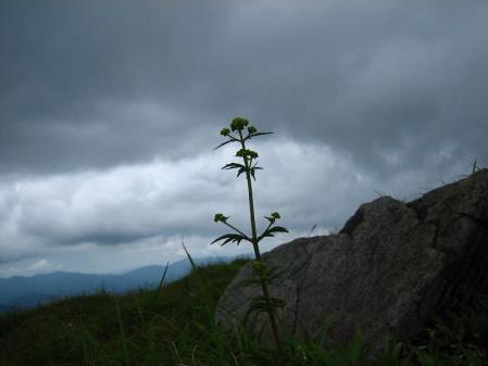 天山の花 256