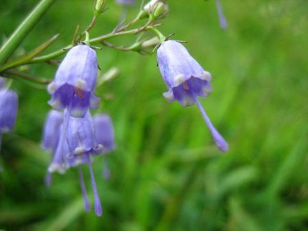天山の花 301