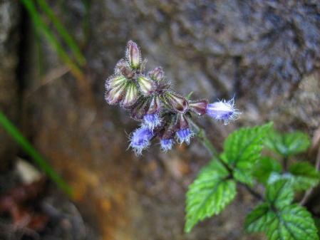 天山の花 139