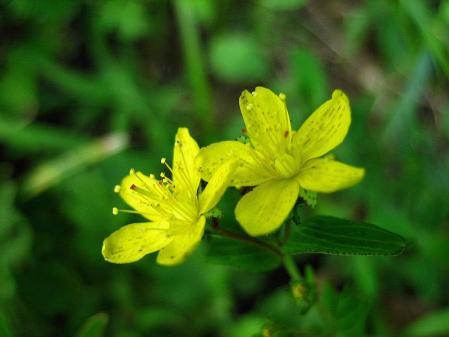 天山の花 雨 028