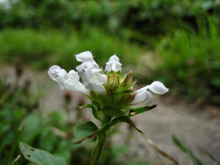 天山の花 雨 125