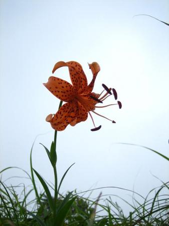 天山の花 雨 175
