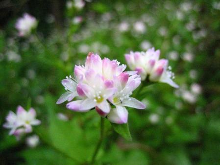 天山の花 008