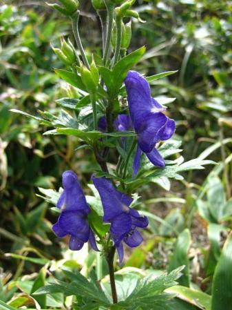 天山の花 072