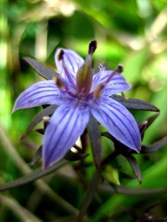 天山の花 094