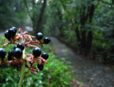 秋雨の清水路 230