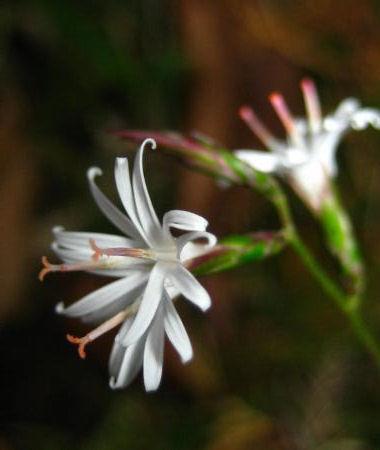 キッコウハグマの花20101119095354595s