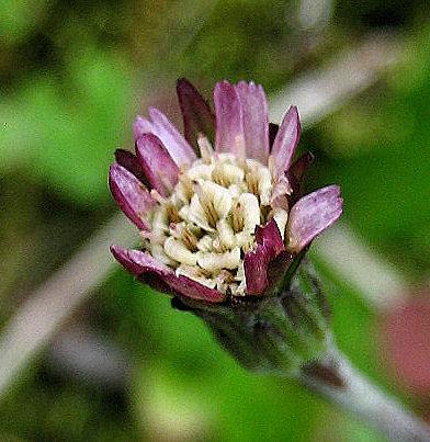 センボンヤリ花2011050212060942a