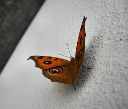 蝶 2マンサク 030