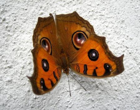 蝶 2マンサク 038