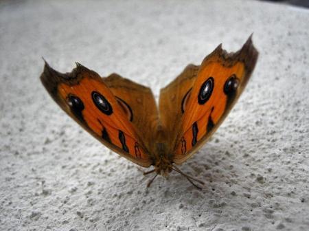 蝶 2マンサク 047