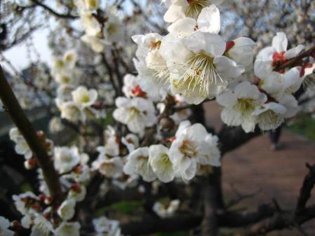 梅の木 と牛津街道 078
